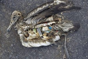The unaltered stomach contents of a dead albatross chick photographed on Midway Atoll National Wildlife Refuge in the Pacific in September 2009 include plastic marine debris fed the chick by its parents. (Chris Jordan)