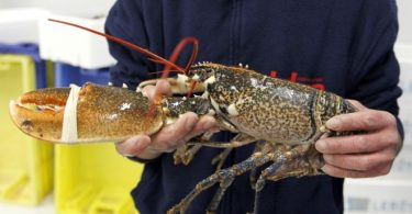 Lobsters and crabs should not be boiled alive, say campaigners